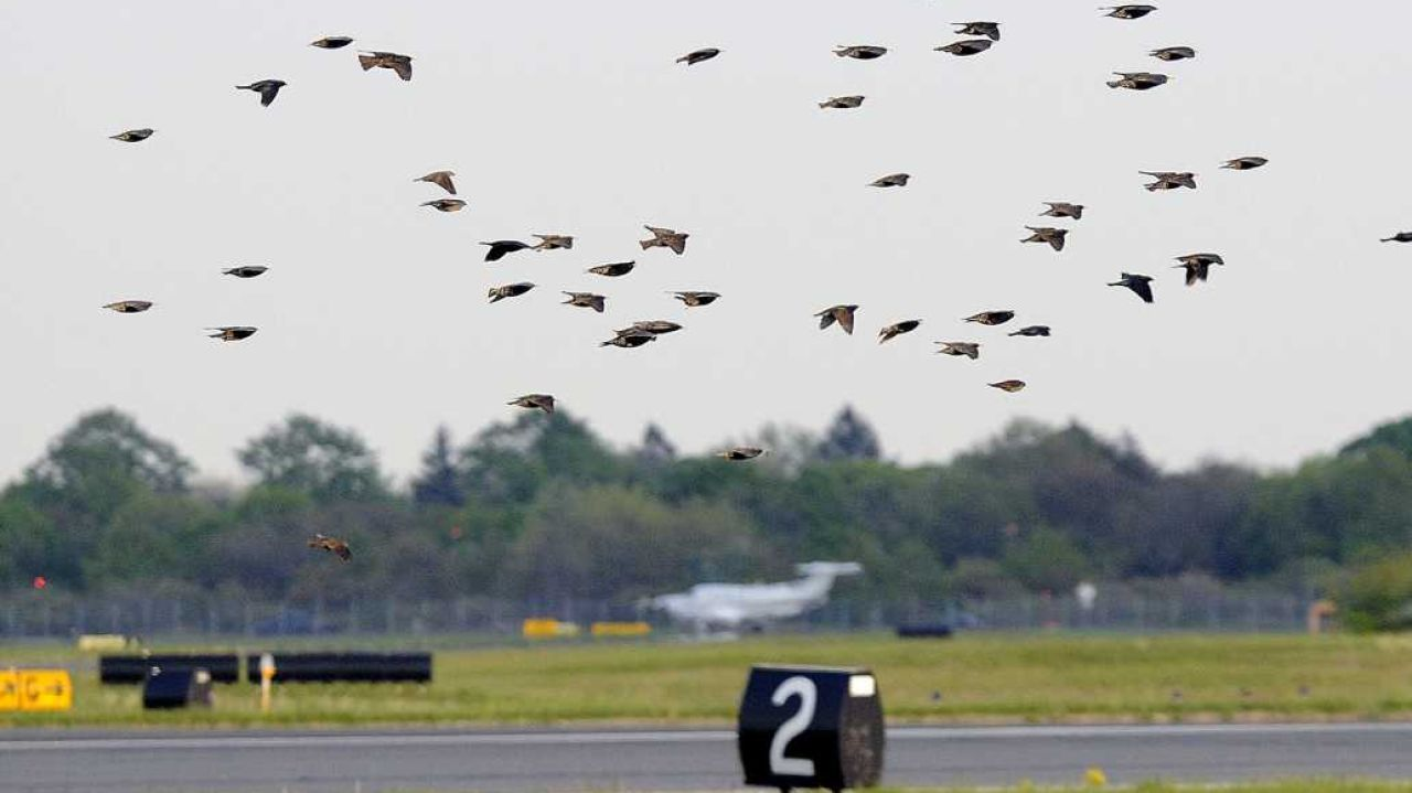 birds at airport